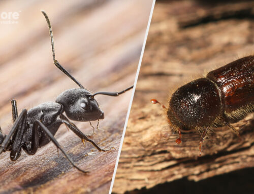 """Tarli, """"tarme del legno"""", termiti o formiche carpentiere?"""